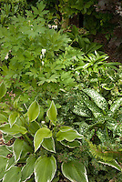 Shade garden plants: Hosta undulata var. albomarginata &amp; Pulmonaria grandiflora variegated foliage plants, ferns, Helleborus