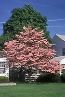 Cornus florida 'Cherokee Chief' pink dogwood tree in spring bloom