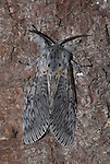 Puss Moth, Cerura vinula, female adult resting on bark of tree, camouflaged, white patterend wings, fluffy.United Kingdom....