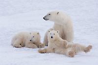 Polar Bear (Ursus maritimus), mother with cubs, Churchill, Manitoba, Canada