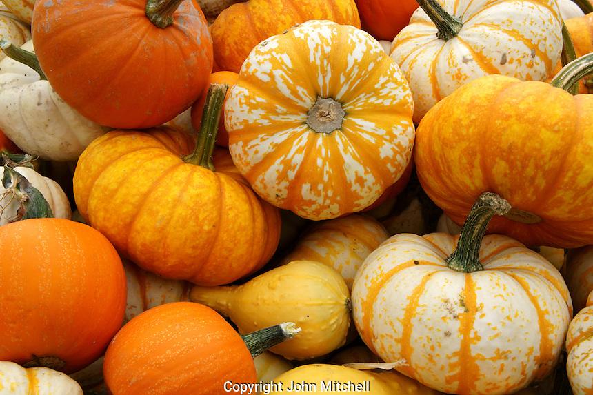 Ripe pumpkins at a farm in Ladner, British Columbia, Canada