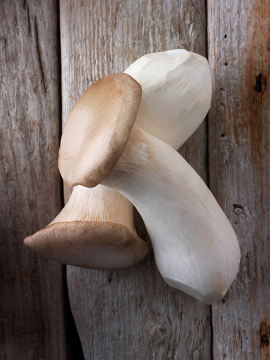 Fresh picked Pleurotus eryngii mushroom , also known as king trumpet mushroom, French horn mushroom, king oyster mushroom, king brown mushroom, boletus of the steppes or trumpet royale.