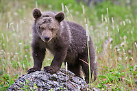 Grizzly Bear cub (ursus arctos horribilis) standing and watching while leaning on a rock near Kalispell, Montana, USA - Captive Animal