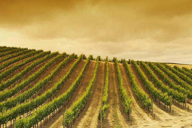 Carneros vineyard, Napa Valley