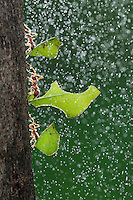 Texas leafcutter ant (Atta texana), workers carrying leafs during rain, New Braunfels, Central Texas, USA