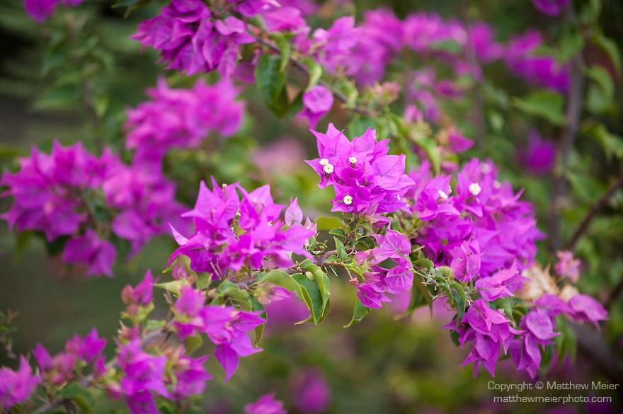 Rakiraki, Viti Levu, Fiji; purple Bougainvillea flowers