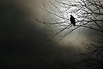 Bald eagle silhouette (Haliaeetus leucocephalus)<br /> <br /> Conowingo Fisherman's Park, Darlington, Md.