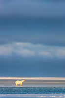 Young polar bear cub walks on the newly formed ice on the Beaufort Sea in the golden sunset light of winter.