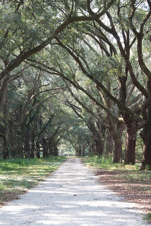 Fenwick Hall Plantation Live Oak Tree Tunnel Driveway