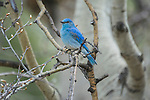 A male mountain bluebird perched on a branch in Yellowstone National Park, Wyoming..