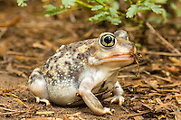 479600002 wild spadefoot toad scaphiopus couchi sits on damp ground after rainstorm in the rio grande valley of south texas