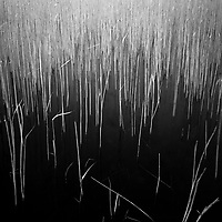Water Reeds, Lopham Fen