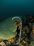 Kenting, Taiwan -- Banded sea krait vanishing into the depth.<br />