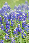 Brazoria County, Damon, Texas; Bluebonnets (Lupinus texensis) flowers blanket a field, they are the official state flower of Texas