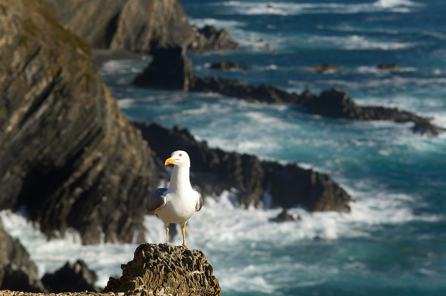 Larus cachinnans - seagull at Cape - Cabo Sardão, Southwest Alentejo and Vicentine Coast Natural Park, Portugal