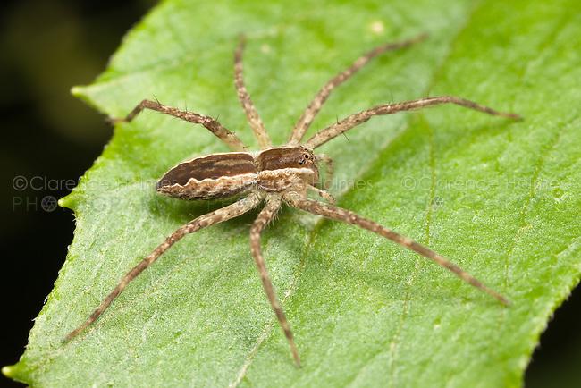 Nursery Web Spider (Pisaurina mira), West Harrison, Westchester County, New York