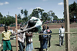 ITEN, KENYA - MAY 19: Teenagers from different schools compete at a competition in Iten outside Eldoret, Kenya. Some of the best runners in the world come from his highland area,  as the high elevation is good for training. (Photo by:  Per-Anders Pettersson)