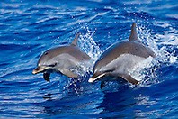 pantropical spotted dolphins, Stenella attenuata, mother and calf, jumping out of boat wake, wake-riding, offshore, Kona Coast, Big Island, Hawaii, USA, Pacific Ocean
