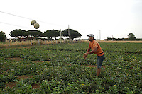 Contadini durante la raccolta di meloni. Farmers during the harvesting of melons....