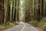 Humboldt Redwoods State Park, Humboldt County, Weott, California; the road winds through a grove of Coast redwoods (Sequoia sempervirens), the tallest known tree species in the world and Humboldt Redwoods State Park contains the world's largest continuous old growth redwood forest