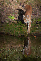 Siberian Lynx standing at a pond with reflection - CA