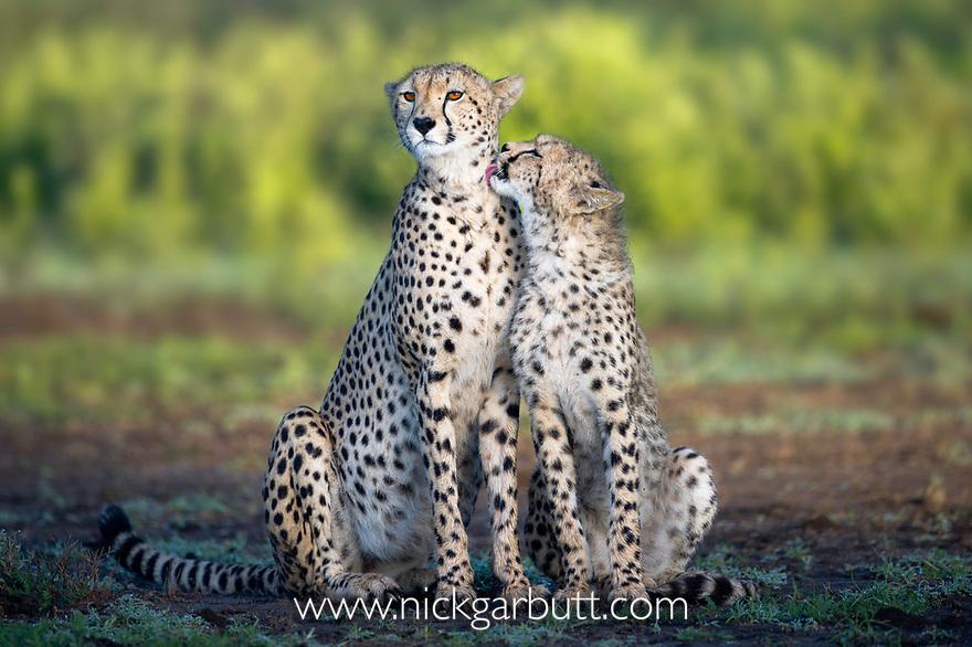 Adult female Cheetah with cub (Acinonyx jubatus).  Near Ndutu, Ngorongoro Conservation Area / Serengeti National Park, Tanzania.