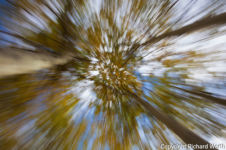 Looking up into a cluster of aspen all dressed up in autumn's color and 'unzooming' gives a sense of flying into fall.   Eastern Sierras, Inyo National Forest.