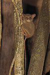 Spectral Tarsier, (Tarsius tarsier) in strangler fig tree which serves as sleeping shalter at daytime. Tarsier are insect eaters and hunt at night. They belong to the  smallest primates and only occur in Sulawesi, Borneo, Philippines and Sumatra.
