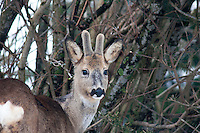 The European roe deer (Capreolus capreolus), also known as the western roe deer,  or just roe deer, Norway. They can come quite close to were people live during winter when there is little food and difficult to move arounhd because of the snow.