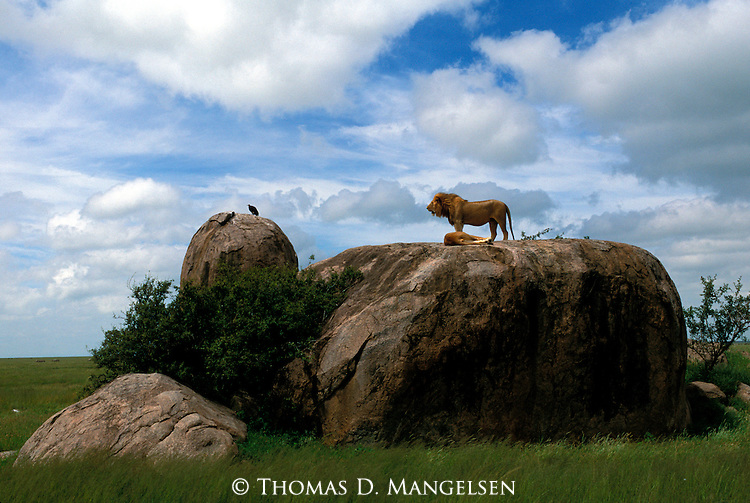 Lion (Panthera leo)  and lioness on top a rock in Serengeti National Park - Tanzania