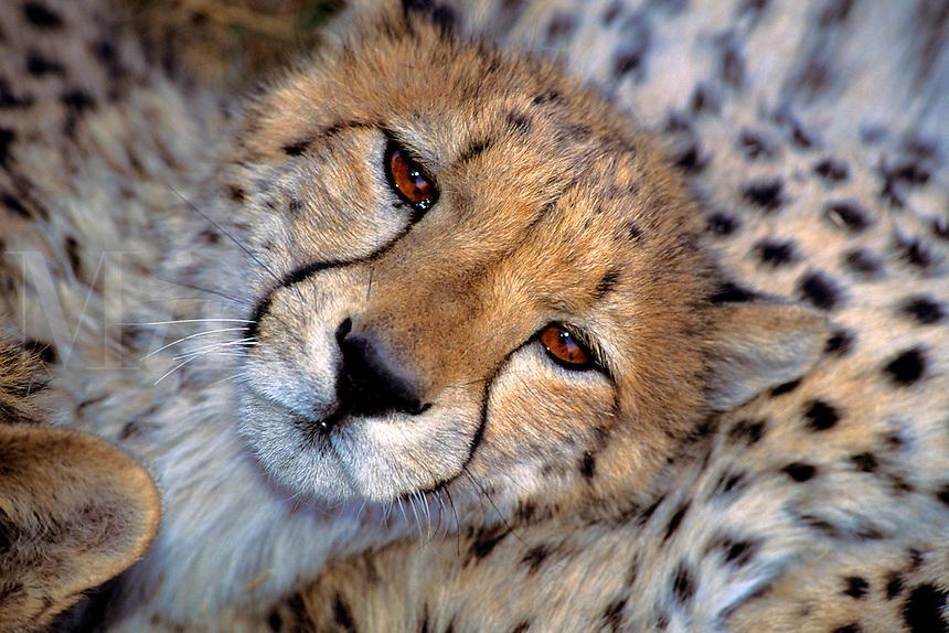 Cheetah.Acinonyx jubatus..Ralph Arwood.Inside-Out Photography, Inc..PO Box 7578.Naples, FL 34101.941-649-4209.RalphArwood@earthlink.net
