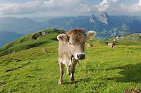 Cows on the Alps, Schwyz, Switzerland
