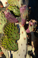 CACTUS - PRICKLY PEAR<br /> Prickly Pear Pads<br /> Opuntia