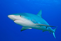 Caribbean Reef Shark, Carcharhinus perezi, West End, Grand Bahama, Atlantic Ocean.