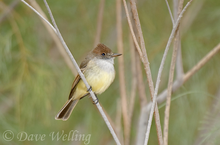 530120003 a wild dusky-capped flycatcher myiarchus tuberculifer perches on a small twig in the western mojave desert in central california