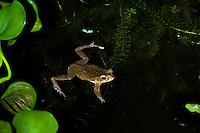 Marine Toad or Cane Toad (Bufo marinus) in pond, Playa Bluff Lodge, Colon Island; Panama
