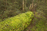 Carpet of moss on tree trunk in beech forest, Fiordland National Park, Southland, New Zealand