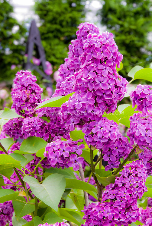 Lilac in Bloom in May, Syringa vulgaris fragrant flowers