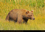 Alaskan Coastal Brown Bear Cub in Sedge Grass, Silver Salmon Creek, Lake Clark National Park, Alaska