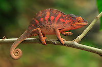 Panther Chameleon (Furcifer pardalis), female, Lokobe Nature Special Reserve, Nosy Be, Northern Madagascar