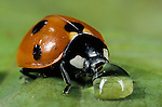 7 Spot Ladybird, coccinella septempunctata, adult on leaf drinking water drop, rain, seven, red with black spots.United Kingdom....