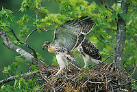 Red-tailed Hawk nestlings excercise before fledging.