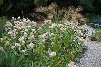 Milkweed (Asclepias speciosa) by gravel path in butterfly habitat garden, Marin Art and Garden Center