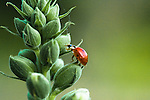 A ladybug climbs a flowering plant in the 50-acre expanse of Brookside Gardens in Silver Spring, Maryland.