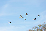 Columbia Ranch, Brazoria County, Damon, Texas; six Sandhill Cranes (Grus canadensis) flying overhead against a blue sky