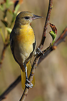 A bird of open woodlands in the American West, the Bullock's Oriole is especially fond of tall trees along rivers and streams.