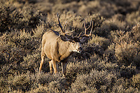 Mule deer (Odocoileus hemionus) trophy Wyoming buck during the fall rut