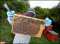 BNPS.co.uk (01202) 558833<br /> Picture: PhilYeomans/BNPS<br /> <br /> Major Wilks hives in the ghost village of Imber.<br /> <br /> Long hot summer a boost for the bee man of Salisbury Plain.<br /> <br /> One of Britains last wilderness area's is a hive of activity this summer as an army of busy bees swarm across Salisbury plain in Wiltshire.<br /> <br /> Major Chris Wilkes commands an astonishing 8 million bees in 150 hives dotted across the unique enviroment of the plain. The chalkland host's an amazingly wide range of rare wildflowers as 60,000 acres of SSSI have never been treated with modern pesticides.<br /> <br /> The wet winter and dry spring have produced perfect conditions for the diverse flora of the grasslands, with the isolation of the plain creating a cornucopia of the top nectar flowers in the UK  producing a honey with the distinctive flavour of one of Britains last wilderness areas.