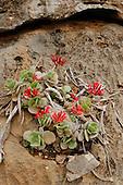 A Kalanchoe (Kalanchoe farinacea) plant growing on the rocks, Crassulaceae, Socotra, Yemen.