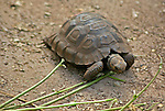 South America, Ecuador, Galapagos Islands. Young Galapagos Tortoise at the Charles Darwin Research Foundation on Santa Cruz Island.